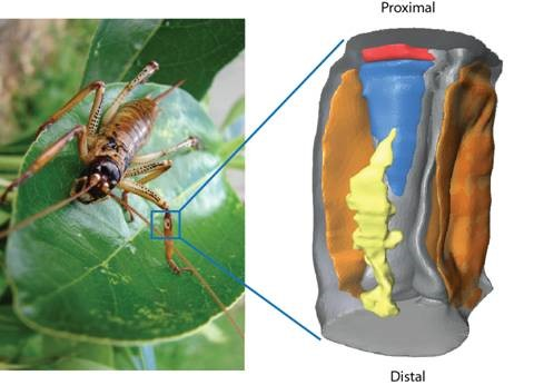 Close up diagram of the ears on a cricket's leg.