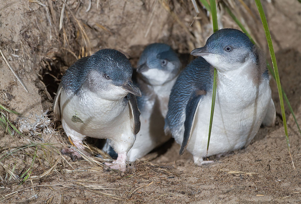 Three little penguins exiting a burrow