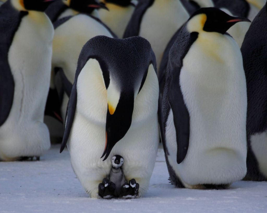 The stay at home dad: Emperor Penguin dads share the incubation duties.
