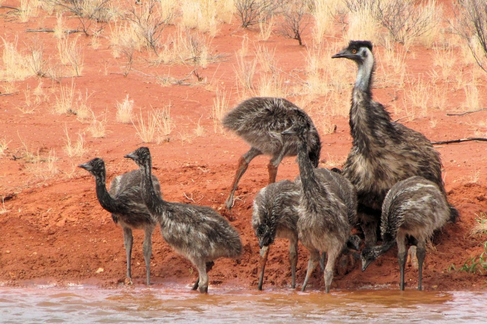 emu father and chicks