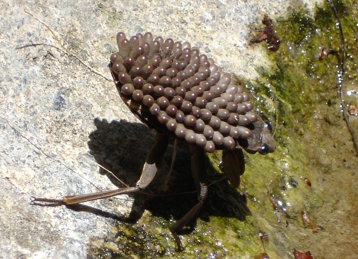 Abedus indentatus male with eggs on its back