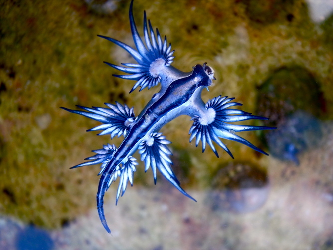 Sea Lizards feed on the stinging cells of blue bottles to use them for their own defence. 87895263@N06/flickr, CC BY-SA