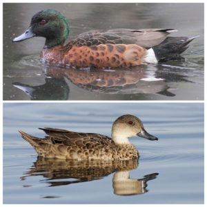 A chestnut teal (above) and a grey teal (below). The male chestnut teal is something of a peacock among ducks.