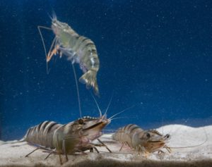 Group of farmed black tiger prawns in aquarium