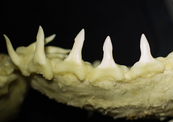 The teeth of a Speartooth Shark - it's not just a name!