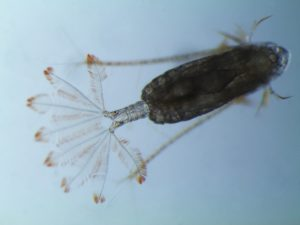 Feathery appendages on the copepods stop them from sinking.