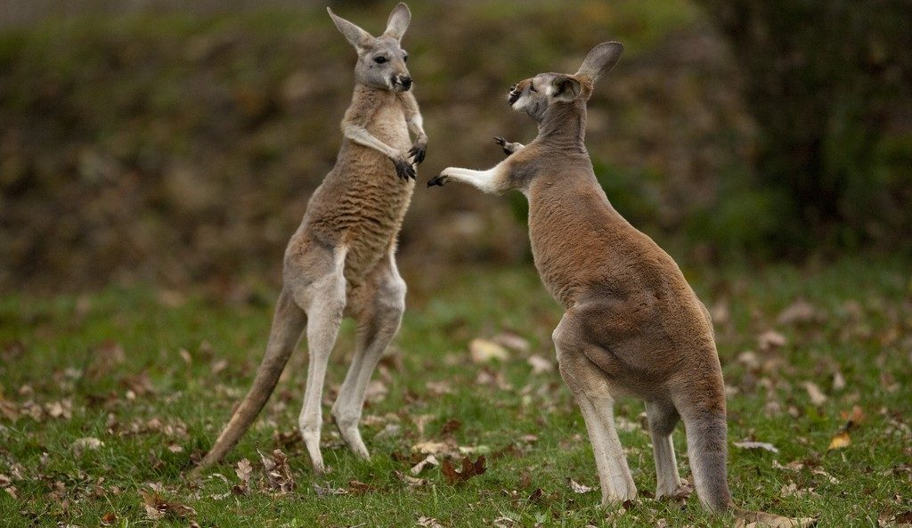 Two joeys playing. We wonder if they know it's Australia Day and not Boxing Day. Image credit - Scott Calleja/Flickr.