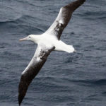 A Royal Albatross in flight in the Southern Ocean (image MNF+Pete Harmsen)