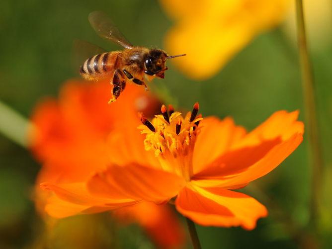 A worker bee landing on a flower
