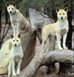A photo of 3 dingoes standing on rocks