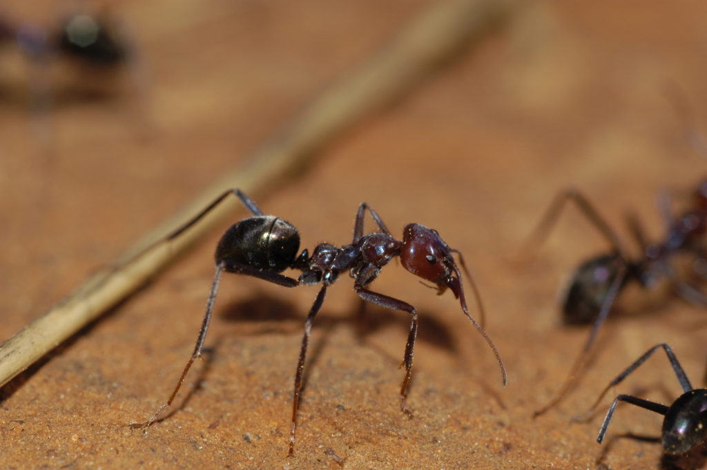 Things that sting: how do Aussie insects measure up on the
