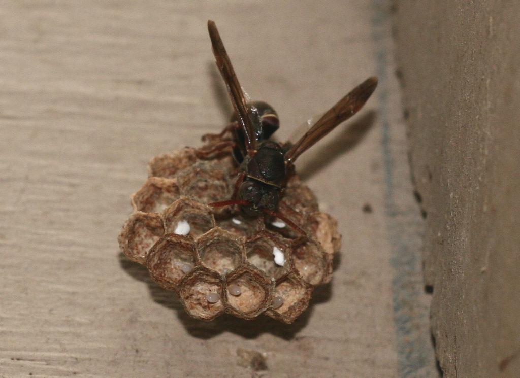 Paper wasp - Image credit - John Manger