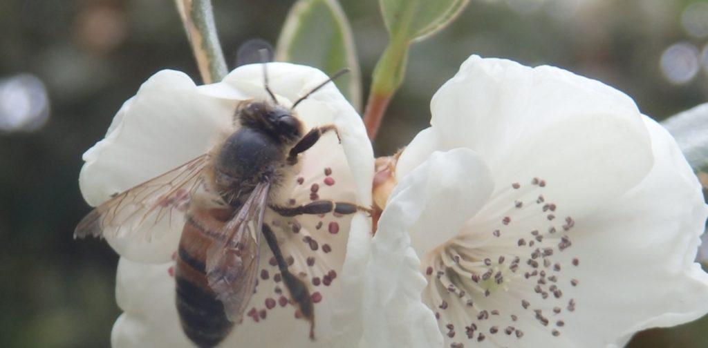 Leatherwood flowers give Tasmanian honey its unique taste. Image credit - Author provided