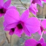 Close up of large, bright pinky purple flowers of the Cooktown Orchid.