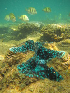 - The brilliant mantle patterning of a giant clam (Tridacna sp.), with surgeonfish, Acanthurus triostegus, in the background.