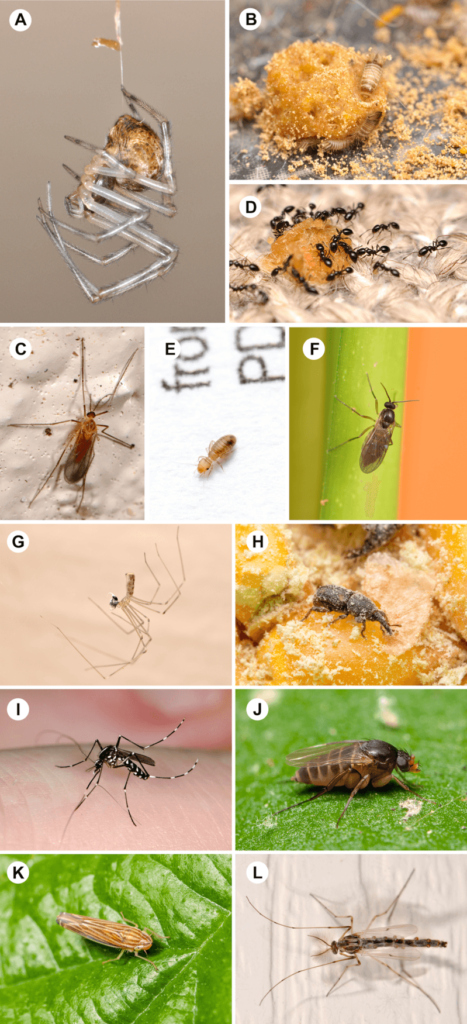 The most common mini-beasts in homes: (A) cobweb spiders (B) carpet beetles © gall midges (D) ants (E) book lice (F) dark-winged fungus gnats (G) cellar spiders (H) weevils (I) mosquitoes (J) scuttle flies (K) leafhoppers (L) non-biting midges Bertone et al, CC BY