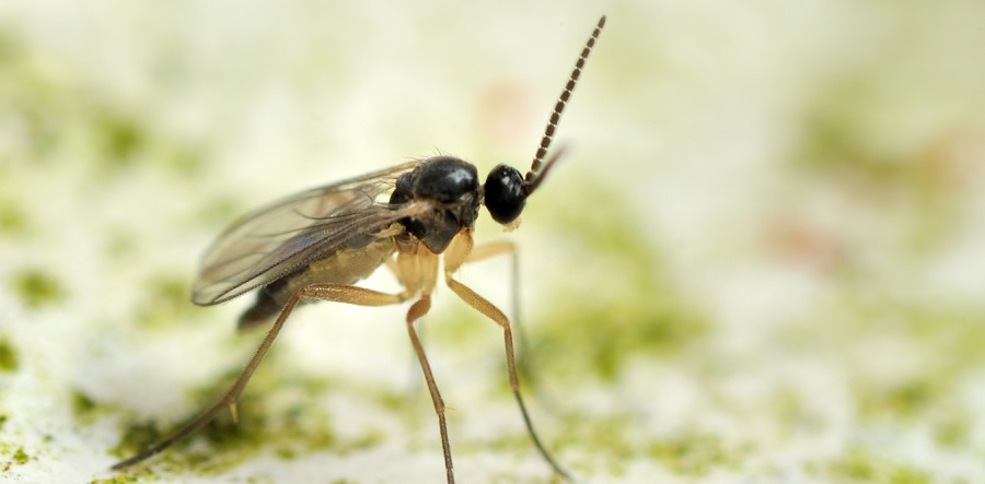 Fungus gnats are one the many athropods that find their way into our homes. Gnat image from www.shutterstock.com