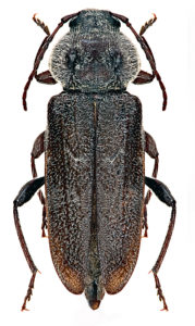 Long dark brown longhorn beetle with white hairs.