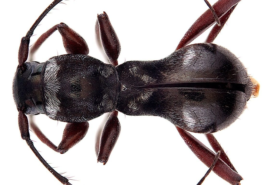 Glossy brown longhorn beetle that looks like an ant.