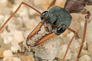extreme close-up image of a bull ant's head