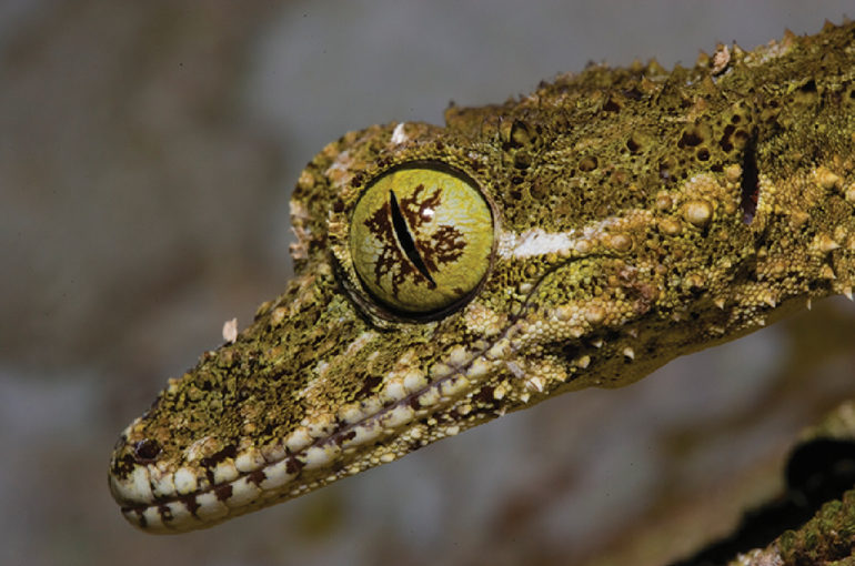 Close up of a gecko to show it's eye