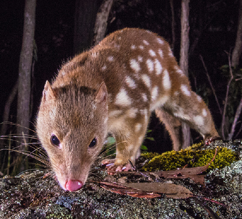 A spotted quoll on a rock