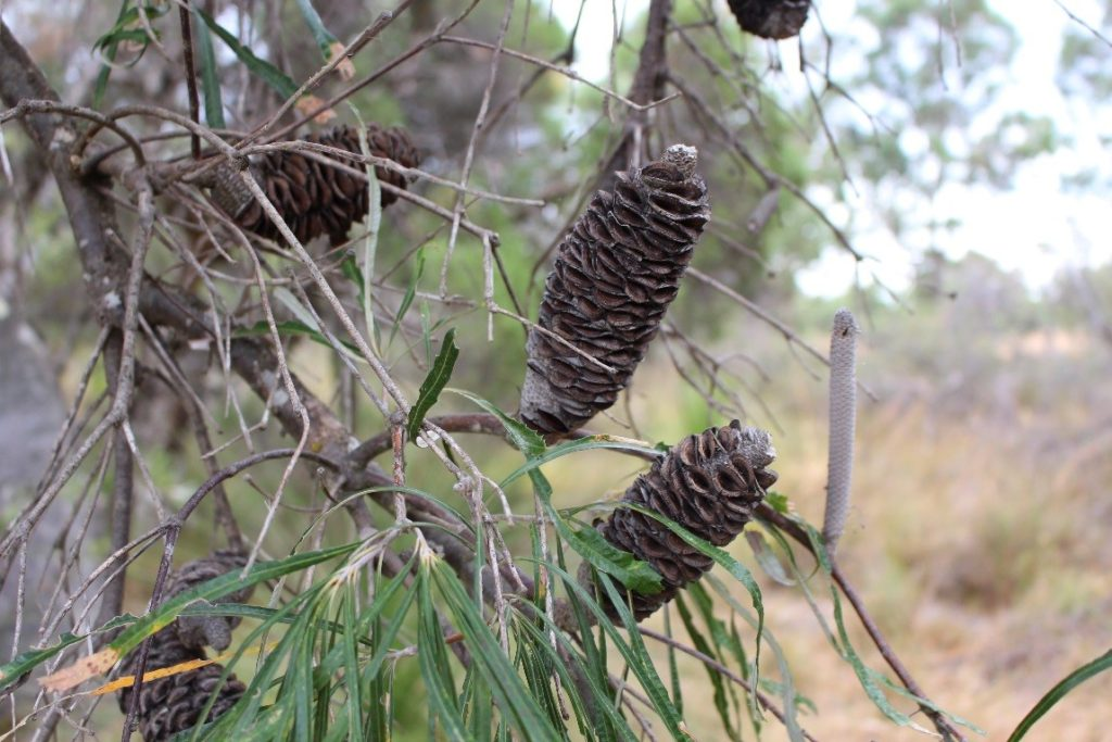Big Bad Banksias Standing Up To Climate Change Csiroscope