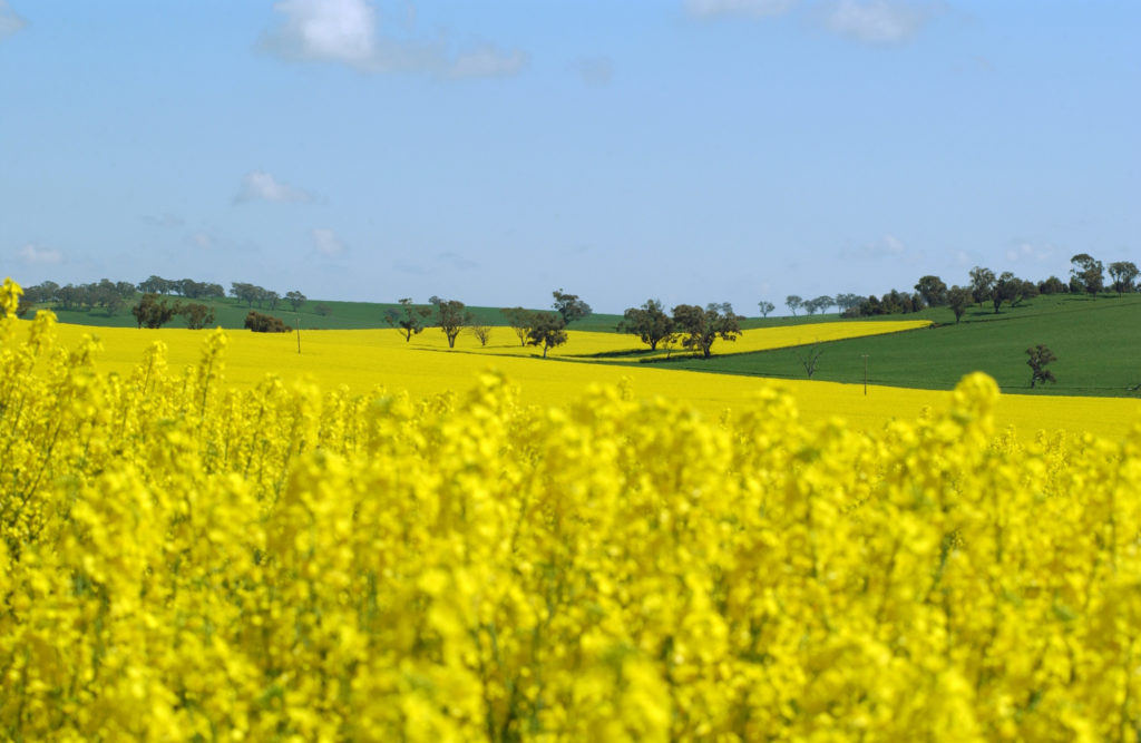A field of yellow canola flowers