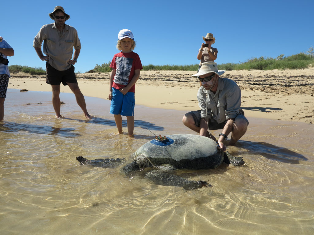Release of tagged green turtle. Image -Richard Pillans