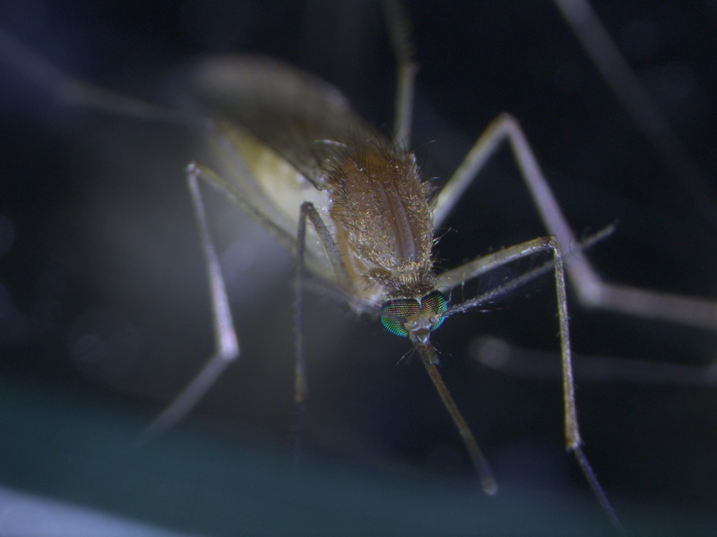 Close up view of Mosquito, Culex pipiens.