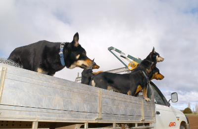 three working dogs in the back of a ute watching sheep out of shot