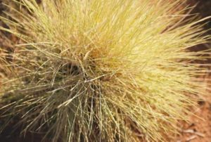 Stick like glue: Spinifex grass is a common plant found in desert areas of Australia. Did you know that this spiny menace has also been used for centuries by Aboriginal people as a type of glue? Spinifex resin is collected in large quantities by beating the plant into a wooden container. The solid is then melted and formed into a large adhesive ball. Once cooled, the resin sets and is incredibly strong. Aboriginal people have used this resin to make tools, weapons and shelter, and as a potent medicine. Western scientists are now investigating how this resin can be used in modern building applications as a sustainable material to replace synthetic resins. (Source: Tourism NT http://www.travelnt.com)