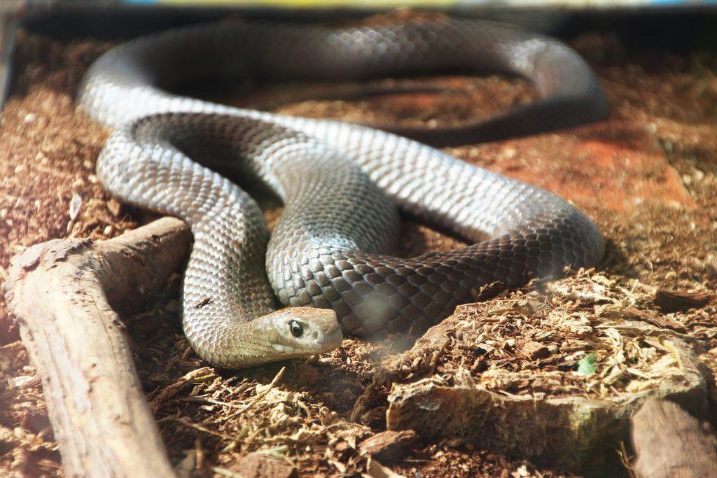 The Eastern Brown Snake is the deadliest snake in Australia. Image: John Englart