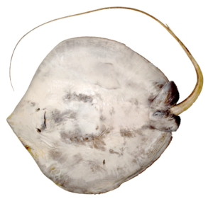 The pale coloured underside of a whipray with its tail curled beside its body.