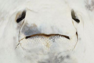Close-up of the mouth and white underside of the newly named whipray.