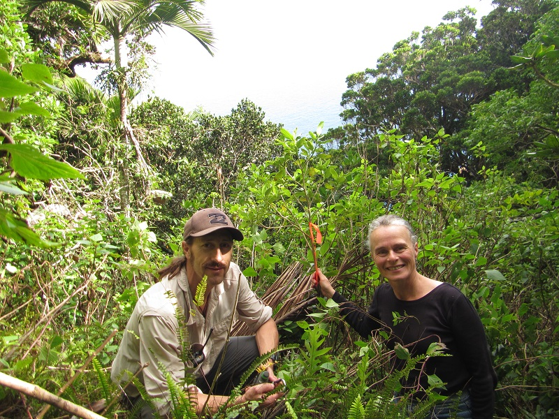 We've been using biocontrol to weed out some of Australia's worst plant pests, including the widespread and persistent Crofton weed on Lord Howe Island. Image credit: Lord Howe Island Board