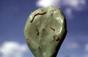 Larvae of Cactoblastis cactorum beginning to feed on a prickley pear fruit. Photo: CSIRO Entomology