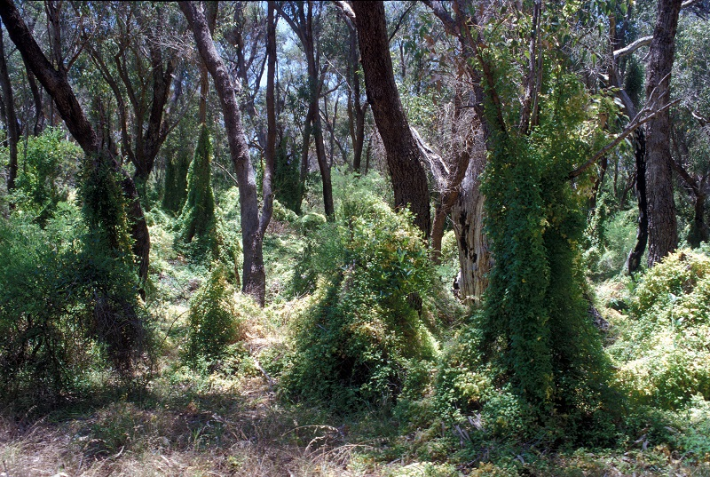 3Bridal creeper infestations choke Australia's bush environments threatening a number of native species.