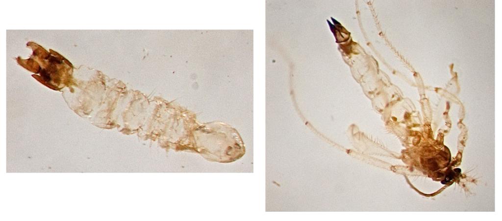 L: A female specimen of Pontomyia oceana R: Male specimen of Pontomyia oceana - Image via Coral Reefs.