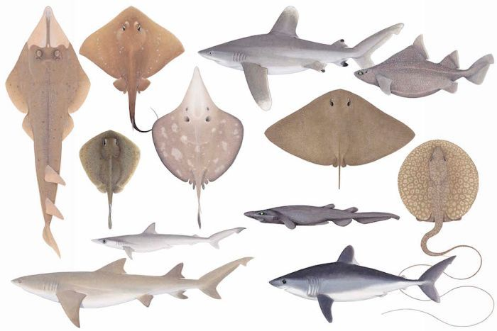 Illustrations of a range of rays and sharks