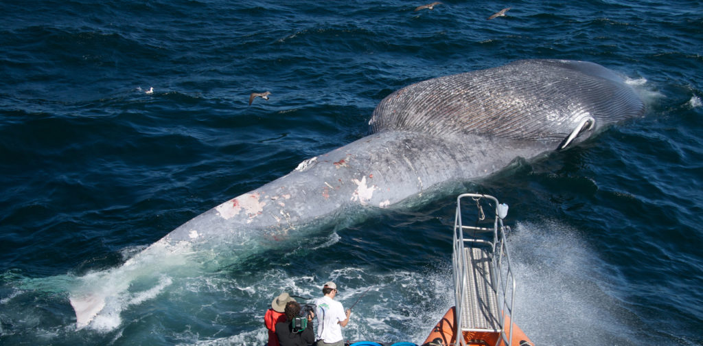 Ship strikes can be deadly, as shown by this blue whale off the US northwest. Craig Hayslip/Oregon State Univ./Flickr/Wikimedia Commons , CC BY