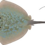 Painting of the upper side of a marbled stingray by artist Lindsay Marshall showing a greenish-grey ray with mottled light blue markings, a sharp sting and a medium length tail.