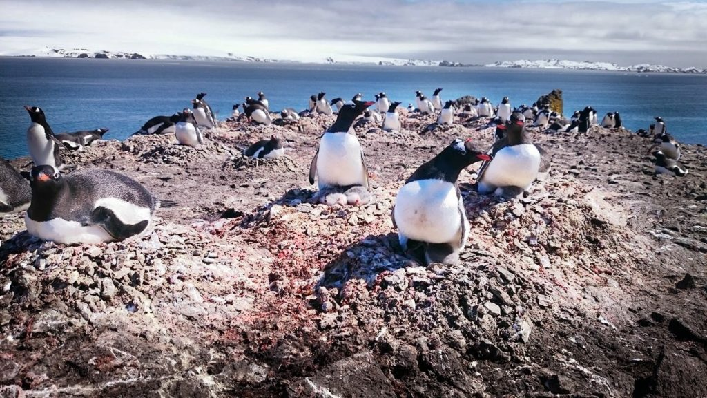 In the winter, this area is covered in snow and ice, but in the warmer months, Gentoo penguins colonise for breeding season.