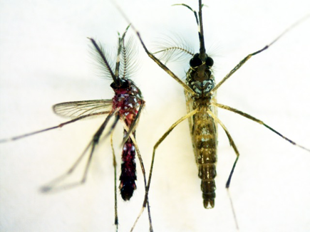 how far will a male mosquito travel to find a mate and will he