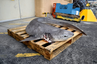 Mottled grey coloured Broadnose sevengill shark lying on a pallet on a concrete wharf.
