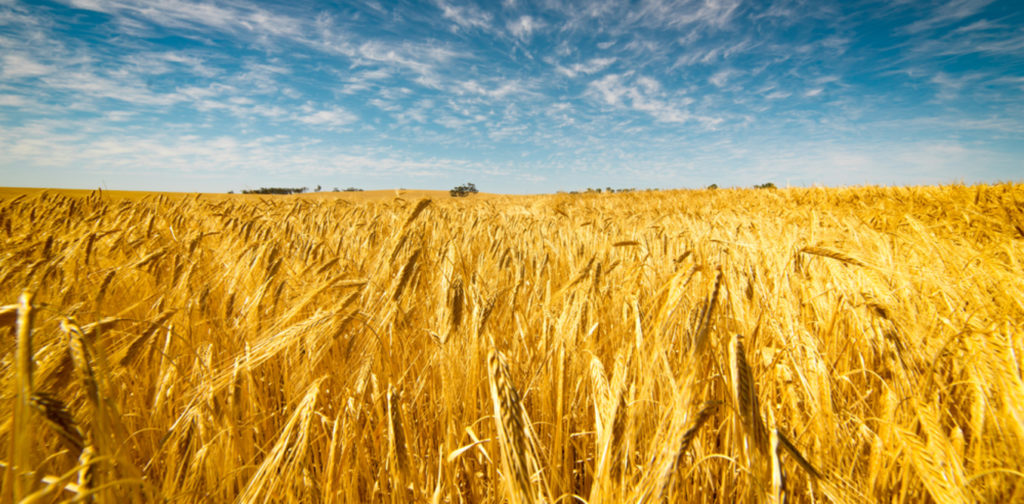 Fields of gold: Australia's wheat industry contributes more than A$5 billion to the economy each year. Wheat image from www.shutterstock.com