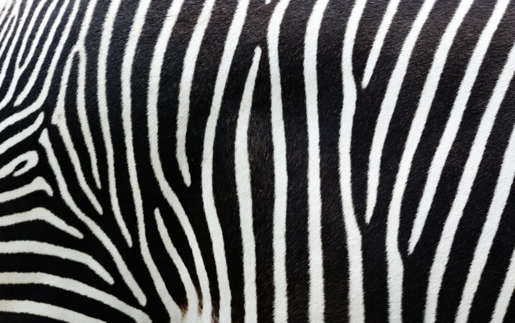 Patterns In Nature How The Zebra Got Its Stripes CSIROscope Stunning Patterns
