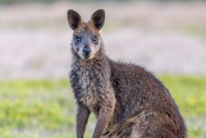 a swamp wallaby