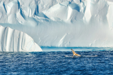 A whale frolics in Antarctic waters while feeding on krill near an iceberg. Image Diego Cotterle.