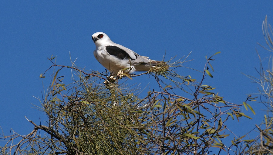 Letter-winged kite perched in Acacia peuce
